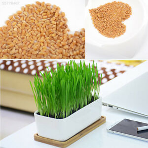 Details about Green Digestive 800 Wheat Seeds Cat Pet Grass Healthy Treat  Chemical Free Plant