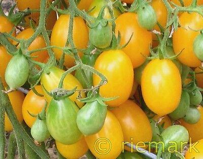 ILDI gelb, süß, DDR Kult-Tomate, hunderte Früchte,   5 Tomatensamen handverlesen