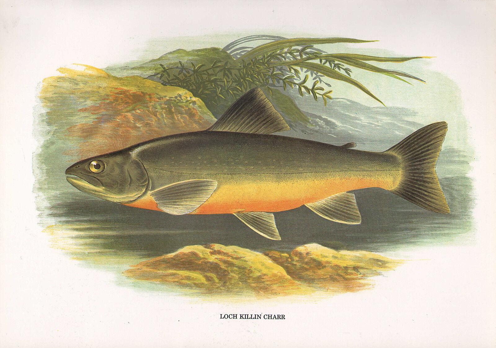 Vintage Facsimile Poisson Imprimé Loch Killin Charr  A. F. Lydon