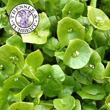 Rare Claytonia - Miners Lettuce - Winter Purslane - approx 100 seeds UK SELLER