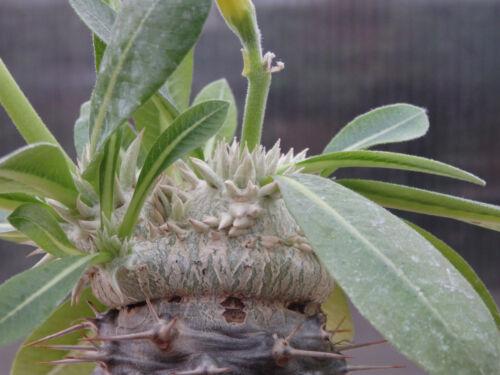 Pachypodium brevicaule !! 10 PCS OF FRESH SEEDS !!!