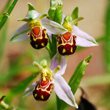 New 10Pcs Rare Bee Orchid Smile Face Interesting Flower Seeds Home Garden HK97