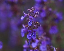 ALTAI KATZENMINZE 100 Samen Schizonepeta Kocanica  Duftpflanze  Minze