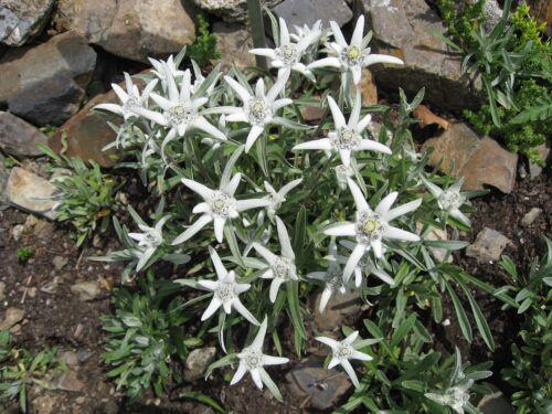 200 Samen Leontopodium Alpinum Edelweiß