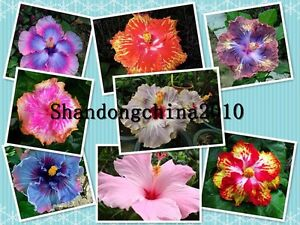 Local-Farmer-034-Giant-Hibiscus-Exotic-Coral-Flowers-50-Seeds-034-Rare-Colors