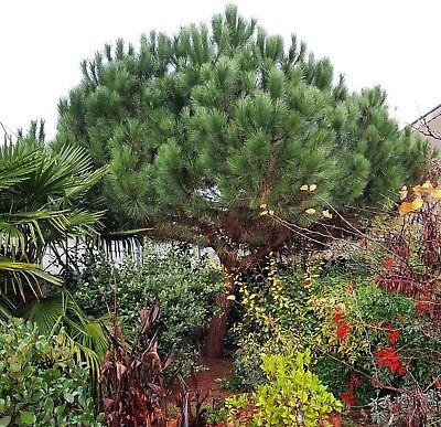 Immergrün Nadelbaum Baum oder Schirm Kiefer Pinus Pinea Pflanze Essbar Samen