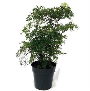 Pre Bonsai Tree Ming Aralia Live Plant Polyscias Fruticosa Indoor 6 Pot 689310841895 Ebay