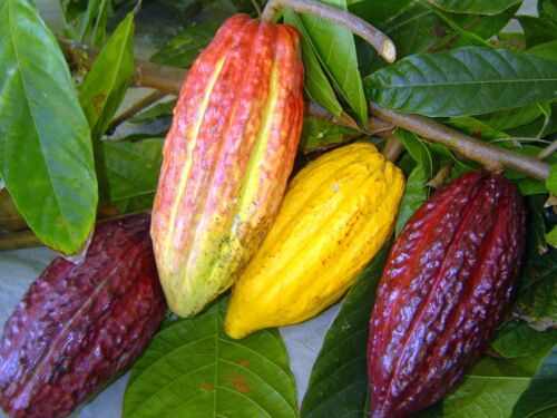 ~Chocolate Tree~ Theobroma Cacao CRIOLLO BIGGER NICER 18-24+in Plant from HAWAII