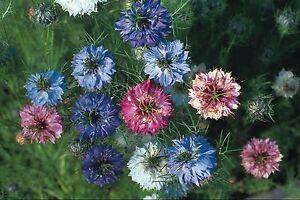Fleur Nigelle Damas Persian Jewel 300 Graines