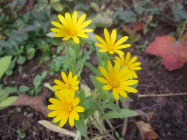 Calendula arvensis ACKER-RINGELBLUME Wildform 20 Samen