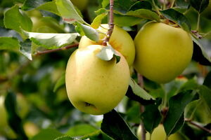 Apple-Seeds-15-Golden-Delicious-Apple-Seeds