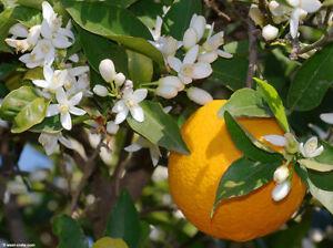 100% Pur Néroli Huile Essentielle Citrus Aurantium naturel artisanal gradeA 1 Indian-afficher le titre d`origine 9T1uuZV3-07210146-387029099