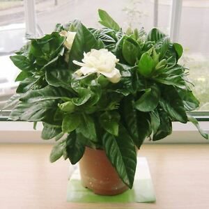 ... Profumata Fragranza Gardenia Jasmine Gioielli Della Corona Indoorn