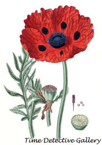 Poster in 3 Sizes Persian Poppy Botanical Illustration of Papaver Bracteatum