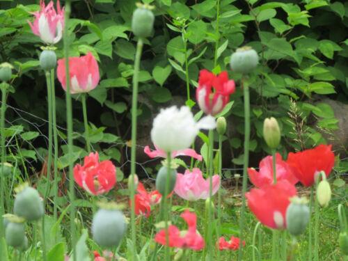 "somniferum Afghan /""Special/"" Poppy Seeds 1 gram Izmir farms Afghanistan p"
