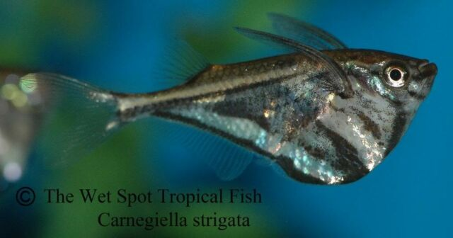 "(10) 1.5"" Marble Hatchetfish Carnegiella strigata WILD live freshwater tropical"