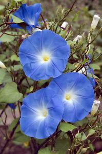 die TRICHTERWINDE !i winterhart frosthart Garten Rankpflanze Blumensamen Exot i