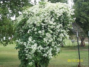 Clematis silver lace white flower vine polygonum auberti image is loading clematis silver lace white flower 039 vine 039 mightylinksfo