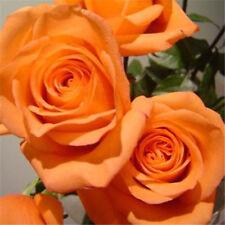 30 Orange Climbing Rose Flower Seeds Garden Plant Rose Flower Seeds Home