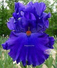 """Tall Bearded """"PAUL BLACK"""" Iris - SHOWY DOUBLE MEDAL WINNER '03 * PLANT PRE-SALE"""