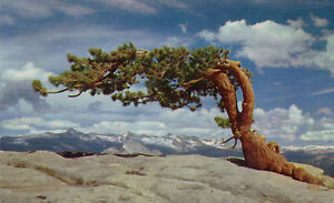 postcard-USA-California-Yosemite-National-Park-Jeffrey-Pine-Sentinel-Dome