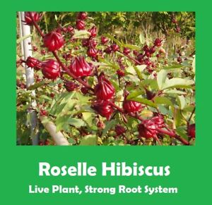 Qty 2 Roselle Hibiscus Tree 18 24 Tall Strong Root System