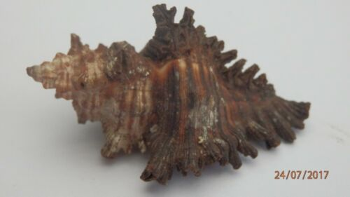 Sea Shells Muricidae, Chicoreus brunneus, The Adjusta Murex Shell approx 48 mm.