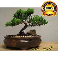 Bonsai Tree live Juniper Flowering House Plant Indoor Garden Pot New