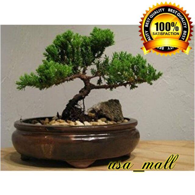 d Bonsai Tree live Juniper Flowering House Plant Indoor Garden Pot Best Gift