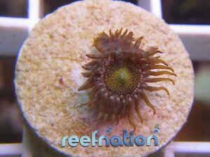 Zoantid Mohawk Zoa -Coral Frag SPS Monti LPS ReefNation Zooanthi