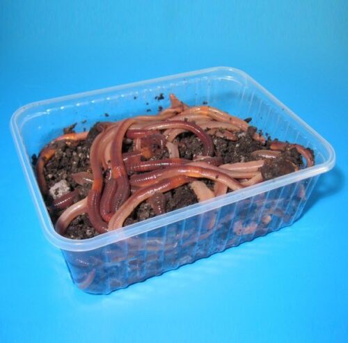 Riesenköder für Aal und Waller 50 Stück in BigBox Angelwurm Tauwürmer