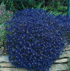Rock-Cress-Seeds-Cascading-Blue-Aubrieta-Seeds-100-Seeds-PERENNIAL