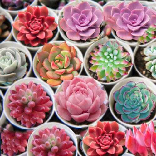 150pcs Mixed Succulent Seeds Lithops Living Stones Plant Cactus Exotic 2019 E5N9