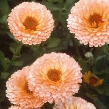 Calendula Pot Marigold (Calendula Officinalis) - Pink Surprise - 50 Seeds