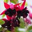 100 Pcs Seeds Purple Double Petals Fuchsia Bonsai Potted Flowers Bonsai Hanging
