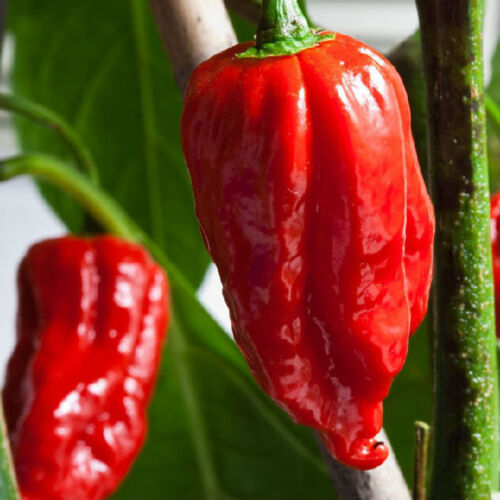 PACK COMBO fantasma Pepper Carolina Reaper Trinidad Scorpion Hot Chili Seed