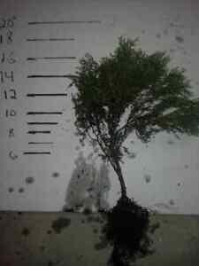 Sherwood-Moss-Arborvitae-18-034-24-034-Transplants