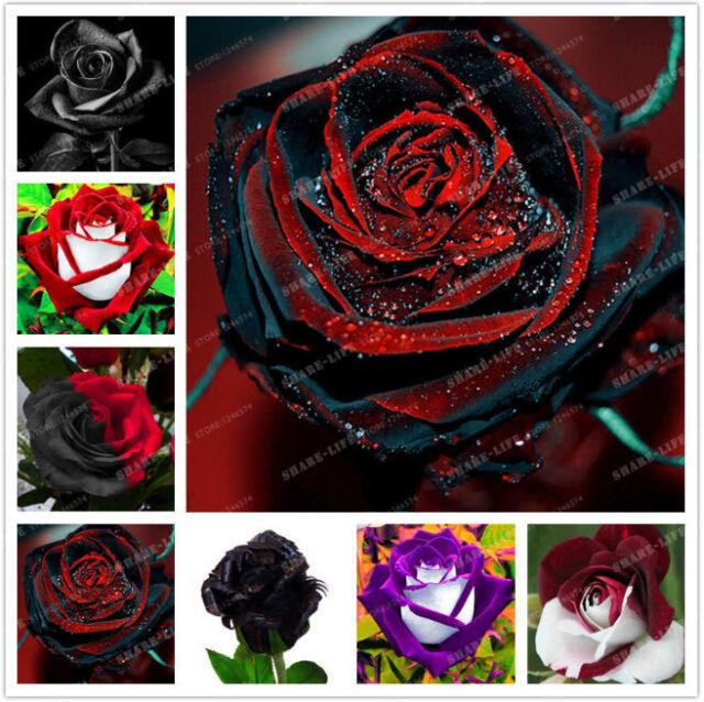 100pcs//bag Black Rose Seeds with red edge rare colorular garden flower SALE