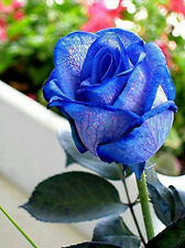 Blue Rose Bush Seeds - Rare, Exotic & Beautiful  (20+ pc) USA SELLER