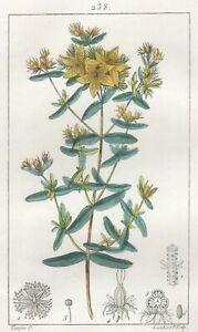 Decoration-Botanique-Fleur-Millepertuis-Gravure-Pierre-Jean-Francois-Turpin
