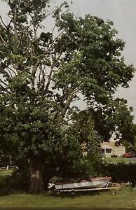 Vintage Photo Slide Maple Tree After Labor Day Storm 1999 New York Elbridge