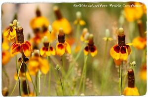 "Ratibida Columnifera 'Prairie échinacée"" [Rouge-Jaune Forme] 200+ Graines  </span>"
