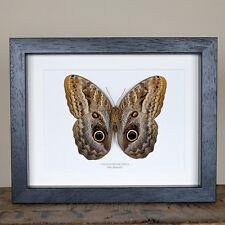 Owl Butterfly in Box Frame (Caligo Prometheus)