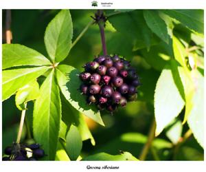 Ginseng siberiano Eleutherococcus senticosus Graines 10 semillas Saatgut