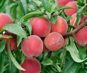 Red-Haven-Peach-Tree-Hardy-Healthy-Established-1-Bareroot-Plant