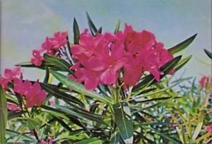 quv-Flower-Postcard-Oleander