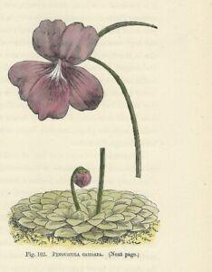Fiori In Inglese.Pianta Carnivora Pinguicula Stampa Antica 1896 Fiori Incisione