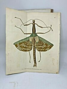 Great Mantis - 1783 RARE SHAW & NODDER Hand Colored Copper Engraving