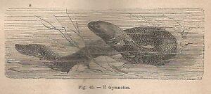 A1638 Gymnotus - Xilografia - Stampa Antica Del 1895 - Engraving DernièRe Technologie
