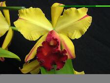 "Blc. Toshie Aoki ""Encore"" cattleya orchid seedling"